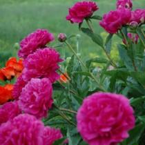 "Пион молочноцветковый ""Карл Розенфельд"" (Paeonia lactiflora 'Karl Rosenfeld')"