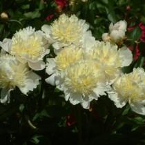 "Пион молочноцветковый ""Лаура Дессерт"" (Paeonia lactiflora 'Laura Dessert')"
