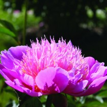 "Пион молочноцветковый ""Лилак Тайм"" (Paeonia lactiflora 'Lilac Time')"