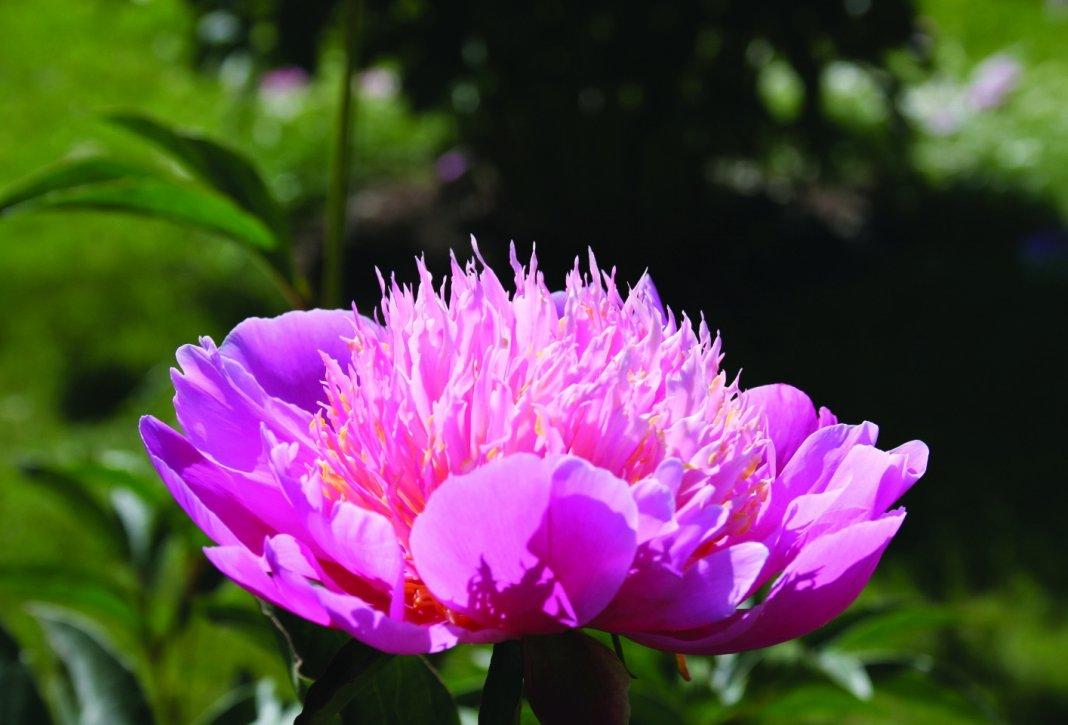 Adriana Пион молочноцветковый