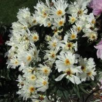 "Пион молочноцветковый ""Луис Келси"" (Paeonia lactiflora 'Lois Kelsey')"