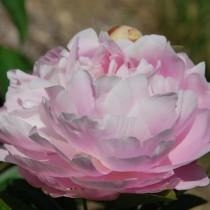 """Пион молочноцветковый """"Миссис Франклин Д. Рузвельт"""" (Paeonia lactiflora 'Mrs. Franklin D. Roosevelt')"""