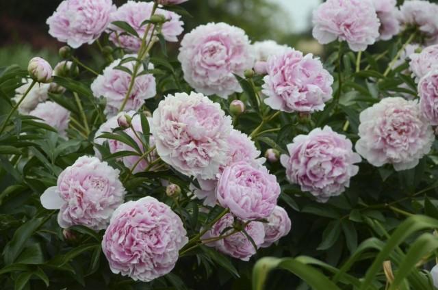 "Пион молочноцветковый ""Сара Бернар"" (Paeonia lactiflora 'Sarah Bernhardt')"