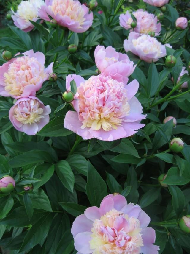 "Пион молочноцветковый ""Сорбет"" (Paeonia lactiflora 'Sorbet')"