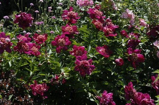 "Пион молочноцветковый ""Японская красавица"", Paeonia lactiflora 'Nippon Beauty'"