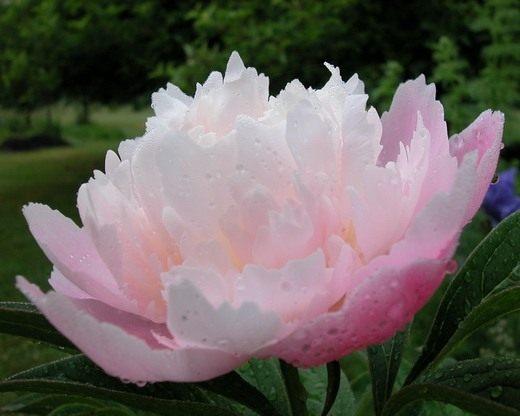 """Пион молочноцветковый """"Г-жа Франклин Д. Рузвельт"""", Paeonia lactiflora 'Mrs. Franklin D. Roosevelt'"""