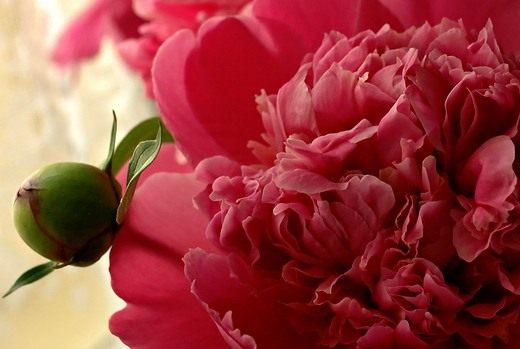 """Пионы, которые в это время расцветают в садах Венгрии называют  """"троицыны розы """".  Об этом цветке и поют..."""