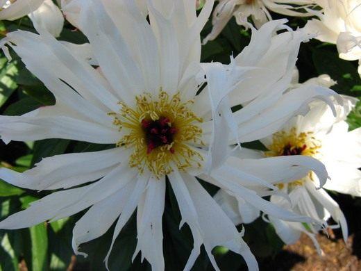 "Пион молочноцветковый ""Луис Келси"", Paeonia lactiflora 'Lois Kelsey'"