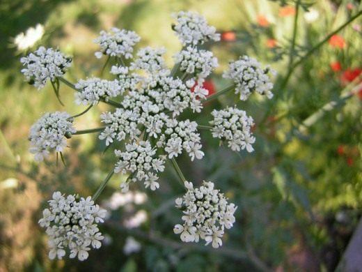 Цветки Петрушки кудрявой