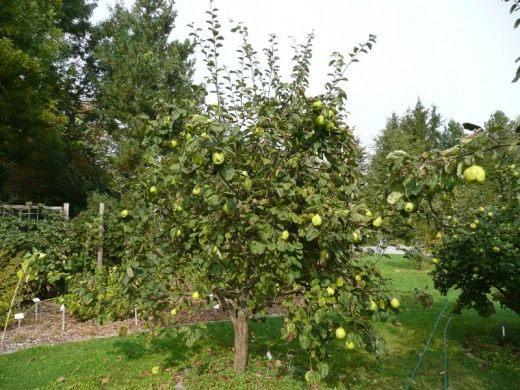 Айва, общий вид дерева с плодами