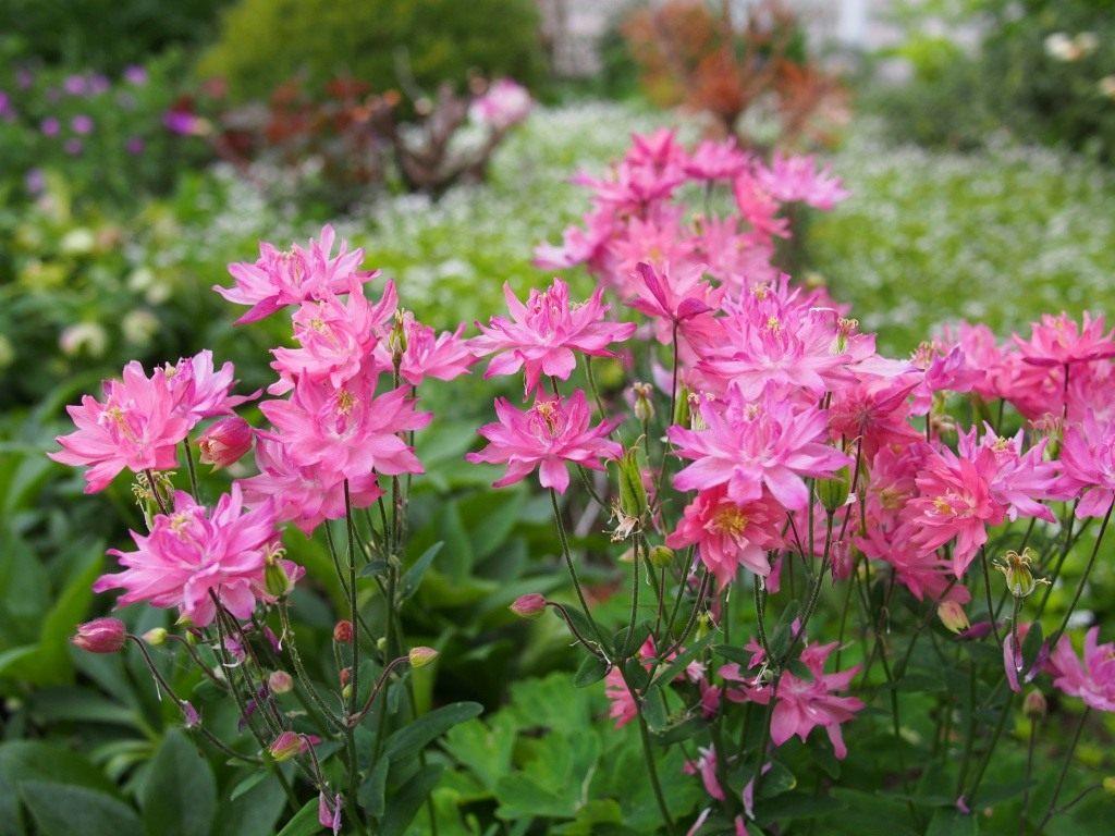 Цветок аквилегия посадка и уход, фото, выращивание из семян 36