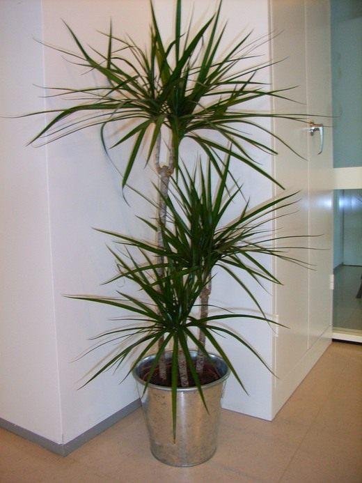 Драцена окаймленная, или маргината (Dracaena marginata)