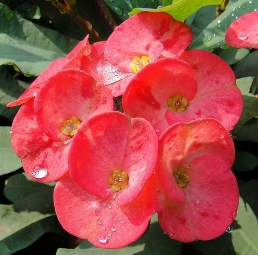 Молочай Миля, или Молочай прекрасный, Эуфорбия Миля (Euphorbia speciosa)