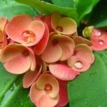Молочай миля (euphorbia milii)