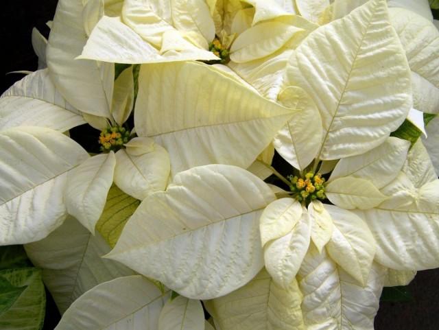 Пуансеттия (Euphorbia pulcherrima)
