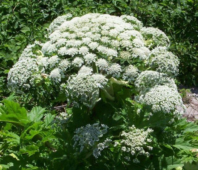 Борщевик Мантегацци (Heracleum mantegazzianum)