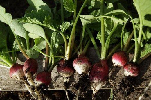 Редис (Garden radish)