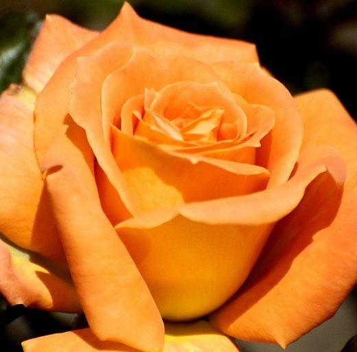 Роза колючая королева