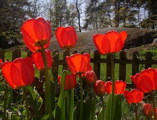 """Красные тюльпаны """"Wrangels"""""""