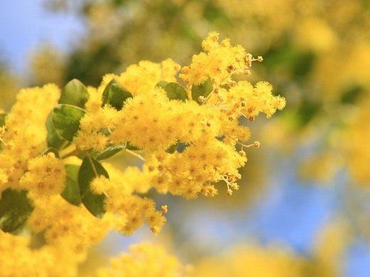 Акация — махровая красавица