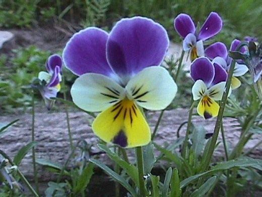 Анютины глазки (Viola tricolor)