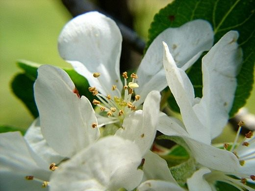 Яблоня (Apple tree)