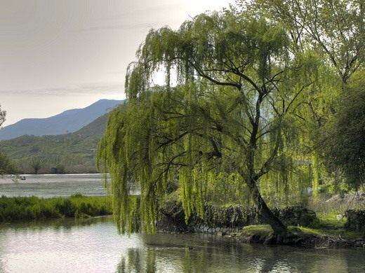 Из всех деревьев мне ближе всего ива плакучая.  Что-то есть в ней такое завораживающее, таинственное, загадочное.