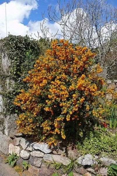 Барбарис (Berberis)