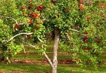 «Яблоки на снегу…»