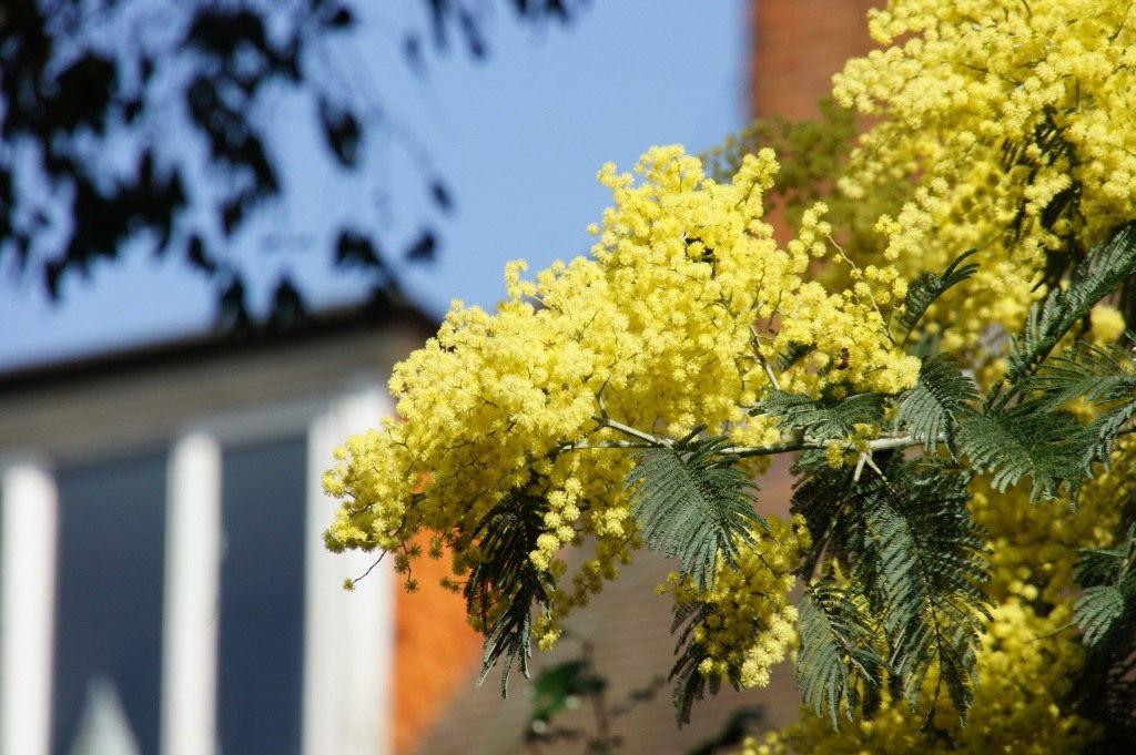 Цветок с листьями как у акации