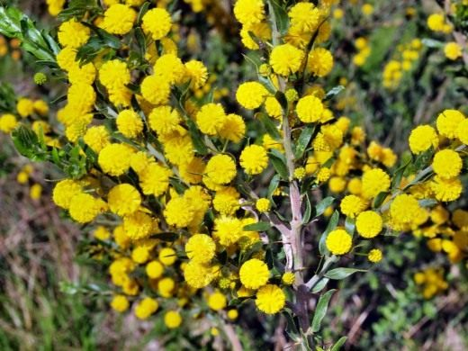 Акация пародаксальная (Acacia paradoxa)