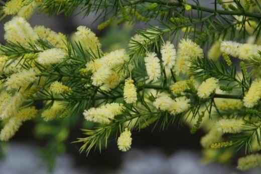Акация мутовчатая (Acacia verticillata)