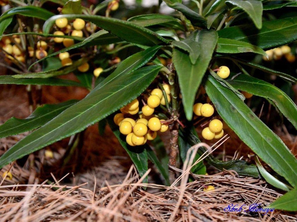 Ардезия цветок