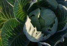 Капуста огородная или кладезь витаминов!