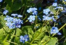 Бруннера крупнолистная (лат. Brunnera macrophylla)