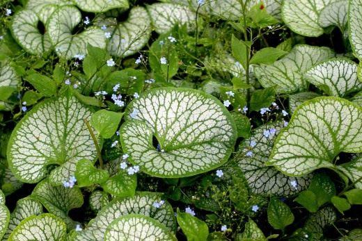 """Бруннера крупнолистная """"Джек Фрост"""" (Brunnera macrophylla 'Jack Frost')"""