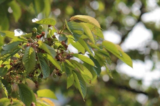 Завязи ягод вишни