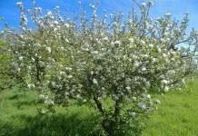Вишня — прекрасных ягод аромат…