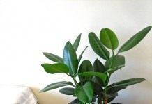 Фикус каучуконосный или эластичное дерево из Индии