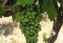 Виноград или гроздья удовольствия