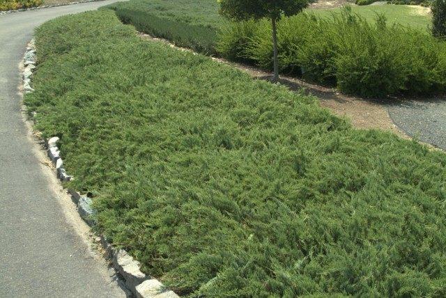 Можжевельник горизонтальный 'Хьюгес' (Juniperus horizontalis 'Hughes')