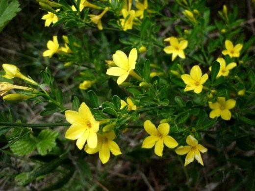 Жасмин жёлтый