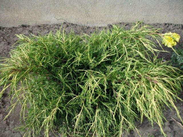 Можжевельник средний 'Голд Кост' (Juniperus x. media 'Gold Coast')