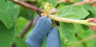 Ягоды жимолости голубой