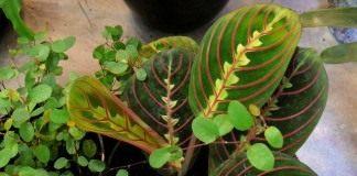 Маранта беложилковатая, разновидность краснолистная (Maranta leuconeura var. erytrophylla)