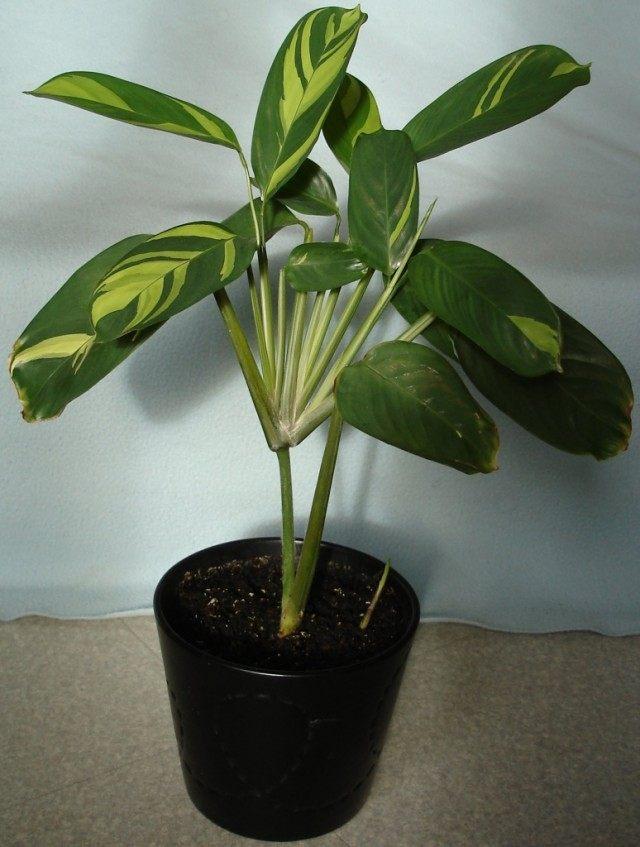 Маранта тростниковидная, также арроурут настоящий, или вест-индский (Maranta arundinacea)