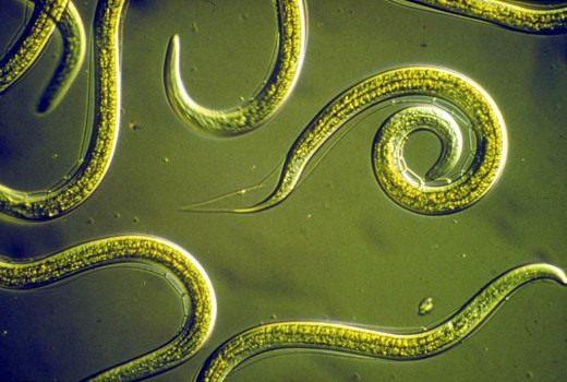 черви паразиты человека