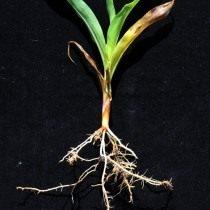 Признаки поражения нематодой кукурузы