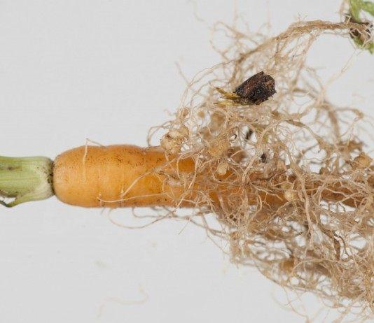 Морковь поражённая Нематодами