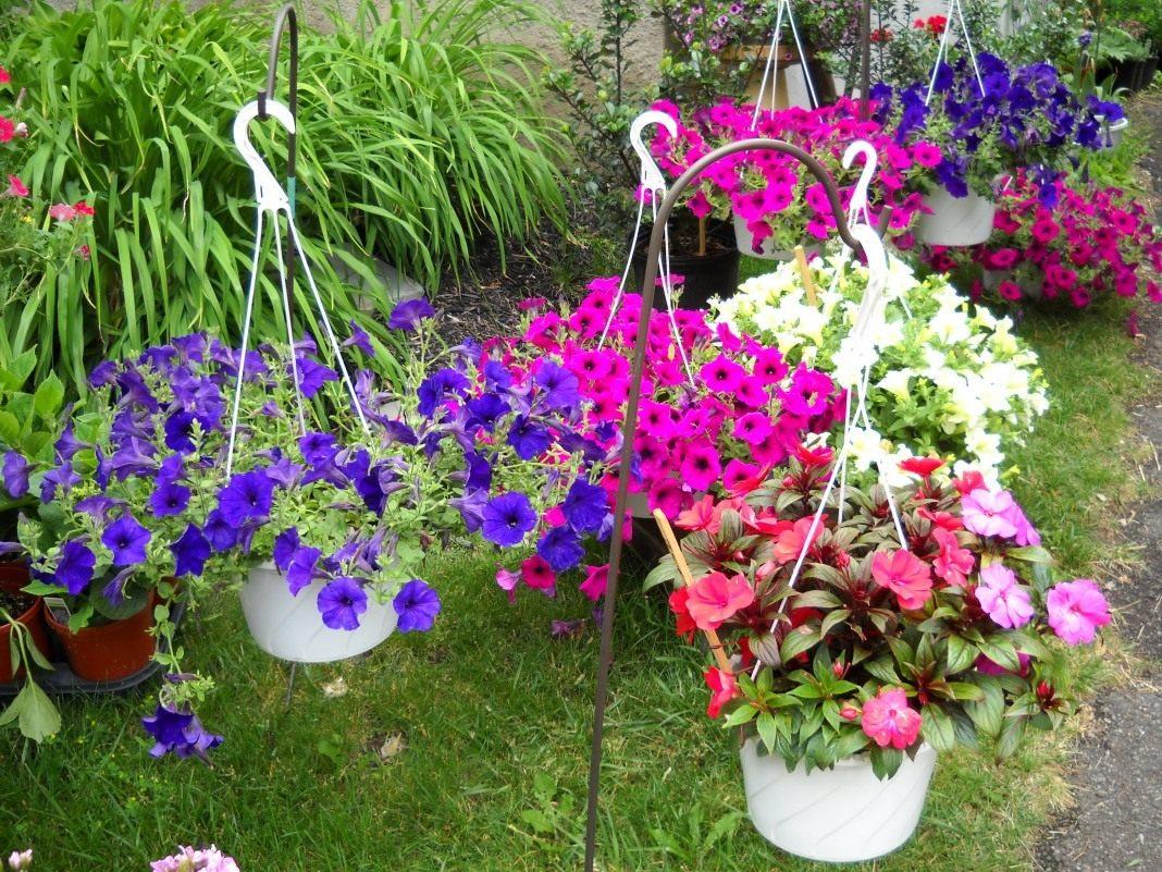 Наиболее популярные сорта и виды петуний для посадки на участке и дома
